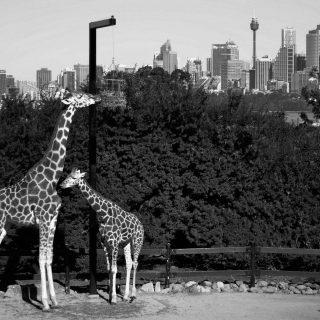l'amore non è solo umano ma anche tra animali esiste questo bellissimo sentimento la foto è stata realizzata a sydney